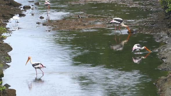 Thumbnail for Painted Stork (Mycteria Leucocephala) Birds Hunting In Lake - Sri Lanka 1