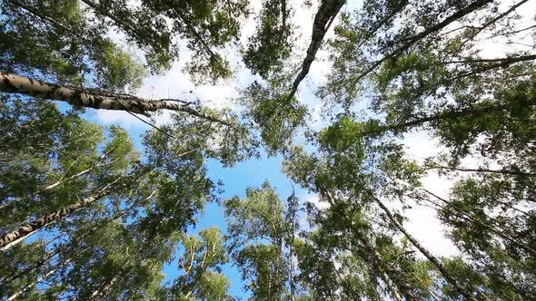 Thumbnail for Tops Of Summer Birch Trees