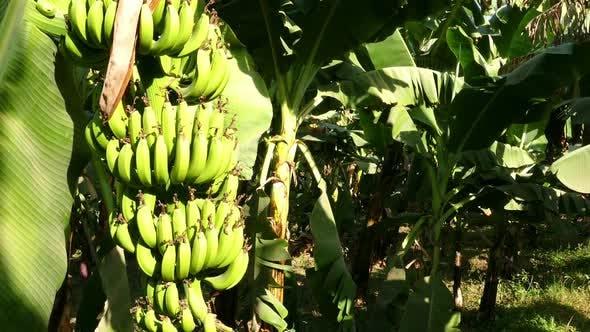 Thumbnail for Banana Tree Plantation In Egypt