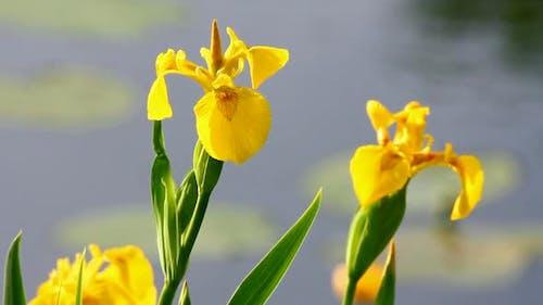 Blüte Iris auf See 2
