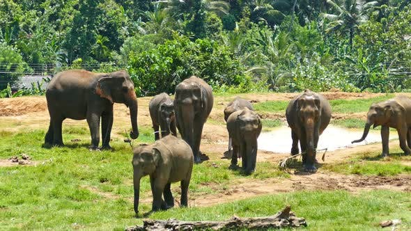Thumbnail for Elephants At The Pinnawala Elephant Orphanage In Sri Lanka 1