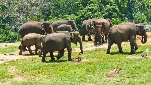 Thumbnail for Group Of Elephants Walking In Sri Lanka 2