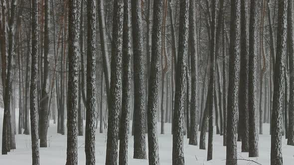 Thumbnail for Snowfall In Winter Forest 4