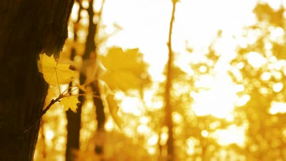 Thumbnail for Yellow Leaf On Autumn Trees In Wind