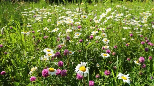 Thumbnail for Walking Through A Blossoming Meadow  Daisies 2