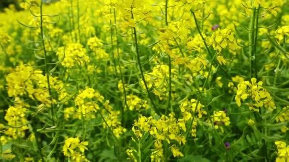 Thumbnail for Walking Through Flowering Rapeseed Field 2
