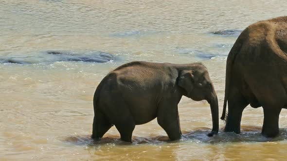 Thumbnail for Elephants Family In The River - Sri Lanka