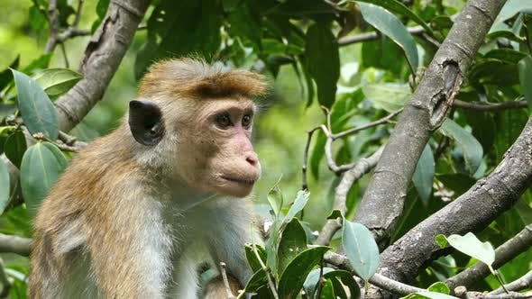 Thumbnail for Monkey Macaque Sitting On Tree In Sri Lanka 1
