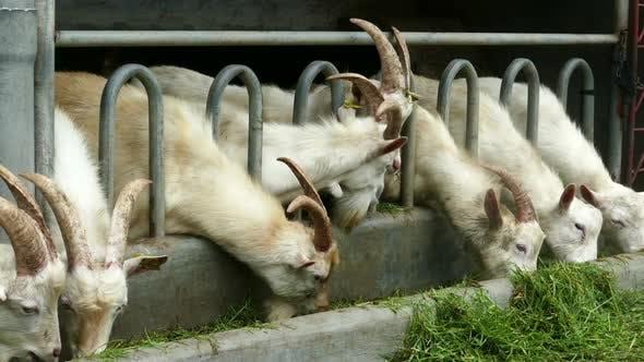 Thumbnail for White Goats Eating Grass On The Farm 2