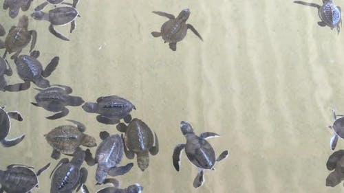 Baby Turtles Swimming In Turtle Hatchery - Sri Lanka 1