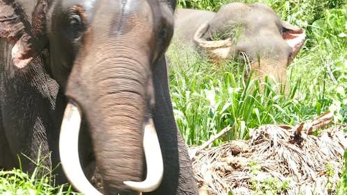 Elephant  Large Tusks Swinging In The Forest 3