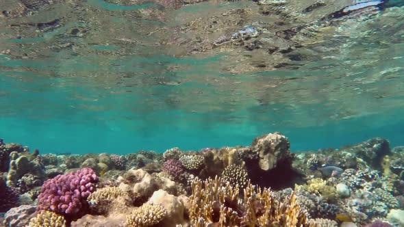 Thumbnail for Many Surgeon Fish Swims Among The Corals In The Red Sea