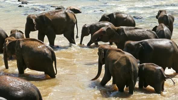 Thumbnail for Elephants In The River - Sri Lanka 1