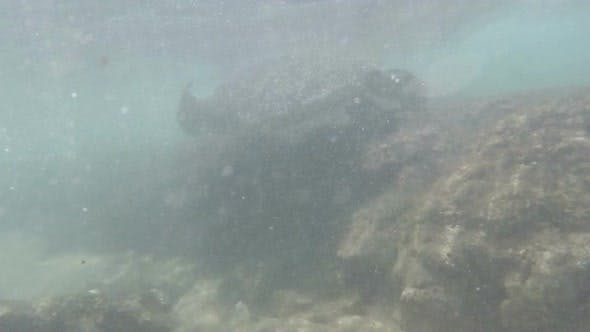 Thumbnail for Large Sea Turtle Underwater 9