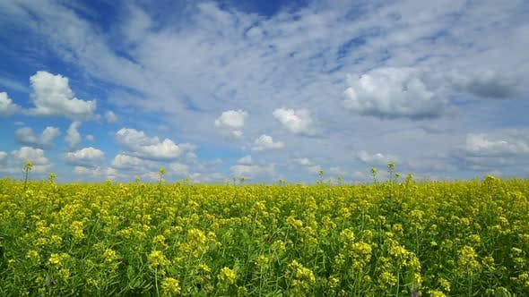 Thumbnail for Beautiful Flowering Rapeseed Field Under Blue Sky - Slider Dolly Shot 2