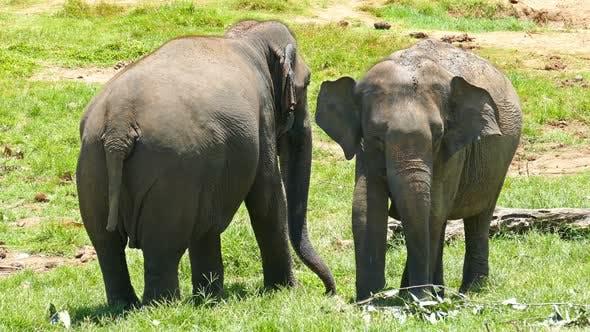 Thumbnail for Elephants At The Pinnawala Elephant Orphanage In Sri Lanka 3