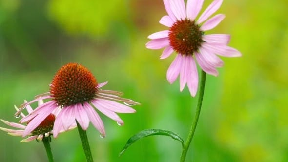 Thumbnail for Echinacea Flowers In Rain