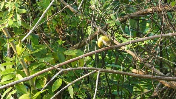Thumbnail for Oriental White-Eye Birds (Zosterops Palpebrosus) 2