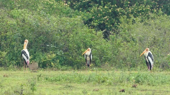Thumbnail for Painted Stork (Mycteria Leucocephala) Birds In Sri Lanka 1