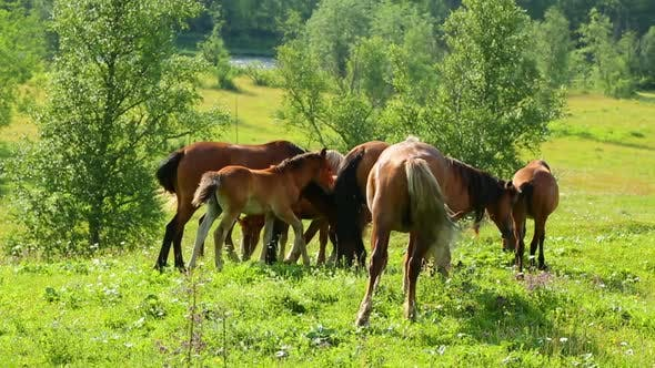 Thumbnail for Group Of Horses Grazing On Summer Meadow 1
