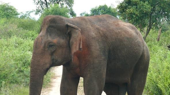 Thumbnail for Wild Indian Elephant Closeup