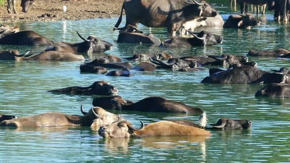 Thumbnail for Many Wild Buffalo Bathing In The Lake In Sri Lanka 2