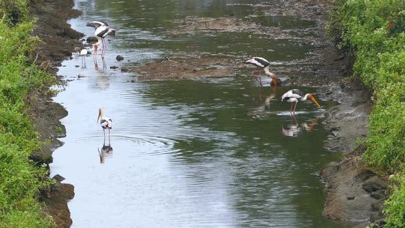 Thumbnail for Painted Stork (Mycteria Leucocephala) Birds Hunting In Lake - Sri Lanka 2