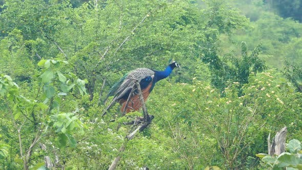 Thumbnail for Peacock Sitting On Branch In Sri Lanka 2