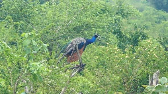 Thumbnail for Peacock Sitting On Branch In Sri Lanka 2