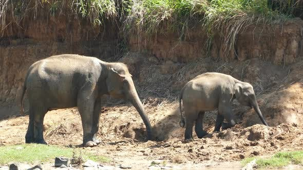 Thumbnail for Elephants Family At The Pinnawala Elephant Orphanage In Sri Lanka
