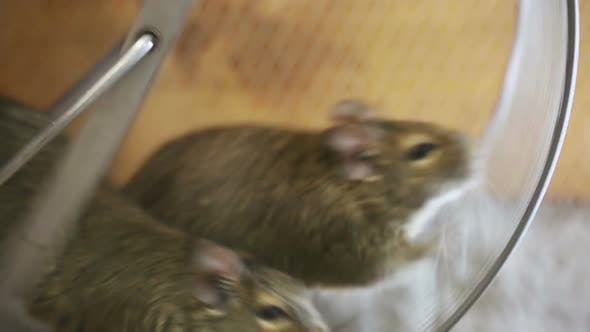 Thumbnail for Two Mice Running In The Wheel