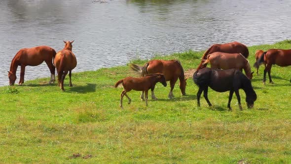 Thumbnail for Group Of Horses Grazing On Meadow Near River 2