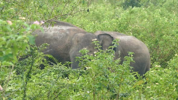 Thumbnail for Indian Elephants Family In Jungle 2