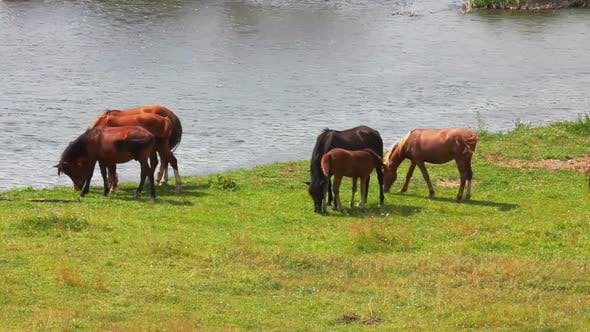 Thumbnail for Group Of Horses Grazing On Meadow Near River 1