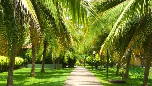 Thumbnail for Beautiful Alley Between Coconut Palms