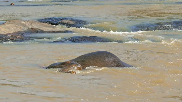 Thumbnail for Elephant Is Lying And Dives Into The River In Sri Lanka 2