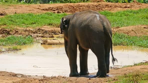 Elephant At The Pinnawala Elephant Orphanage In Sri Lanka 2