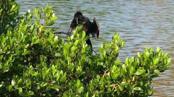 Thumbnail for Great Cormorant (Phalacrocorax Lucinus) Above Water On Tree Spreading Its Wings 3