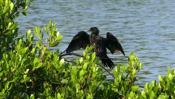 Thumbnail for Great Cormorant (Phalacrocorax Lucinus) Above Water On Tree Spreading Its Wings 2