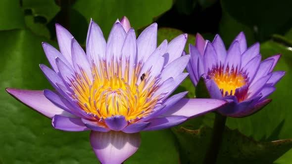 Thumbnail for Lotus Flowers Closeup