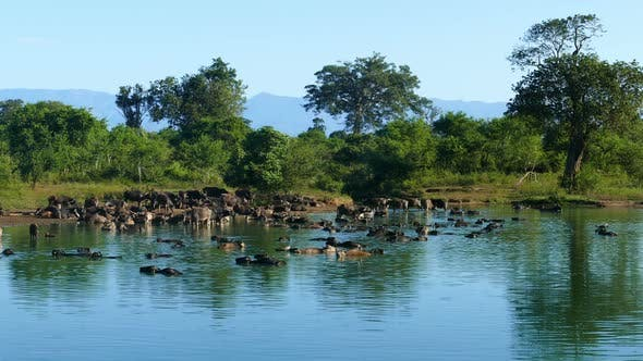 Thumbnail for Many Wild Buffalo Bathing In The Lake In Sri Lanka 3