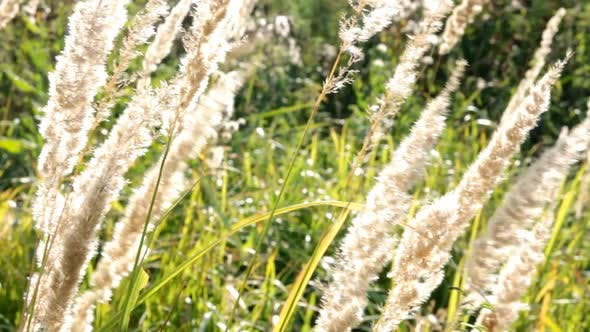 Thumbnail for Stems Of Dry Grass 3