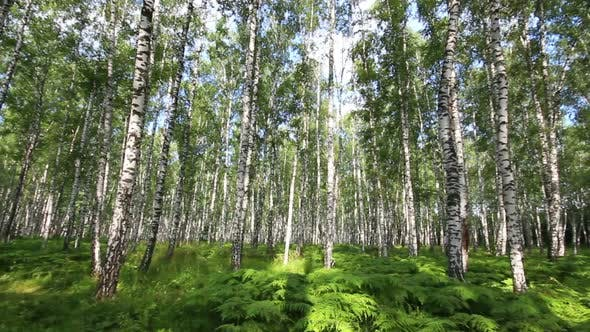 Thumbnail for Summer Birch Forest In Russia 3