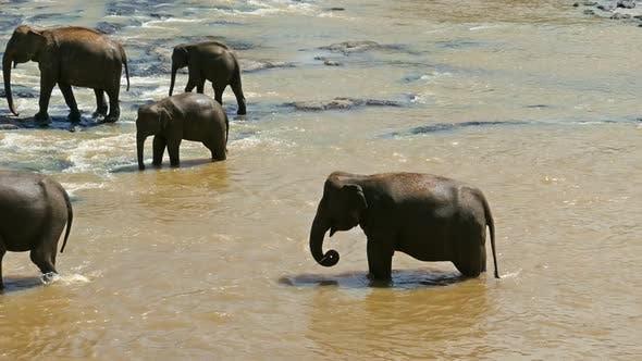 Thumbnail for Elephants In The River - Sri Lanka 2