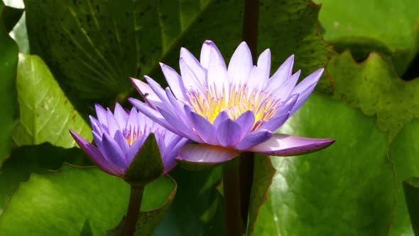 Thumbnail for Lotus Blumen