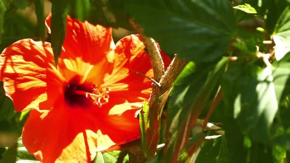 Thumbnail for Red Hibiscus Flower Closeup