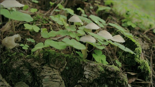 Thumbnail for The Oxalis Acetosella Plant with Mushrooms