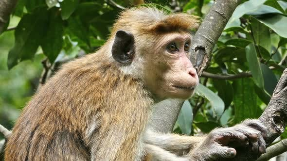 Thumbnail for Monkey Macaque Sitting On Tree In Sri Lanka 2