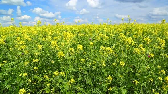 Thumbnail for Beautiful Flowering Rapeseed Field Under Blue Sky - Slider Dolly Shot 1