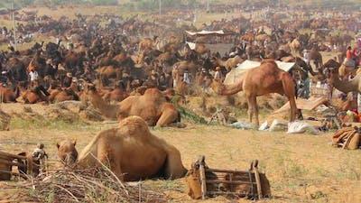 Camels During Pushkar Camel Fair 4